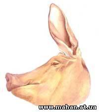 Часть свиньи - голова
